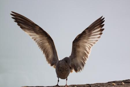 A bird getting ready to fly Фото со стока - 11120454