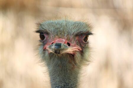 A gazing ostrich
