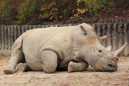 a sad rhinoceros Фото со стока - 11120141