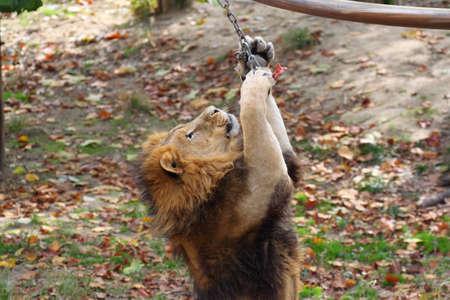a lion catching meat Фото со стока