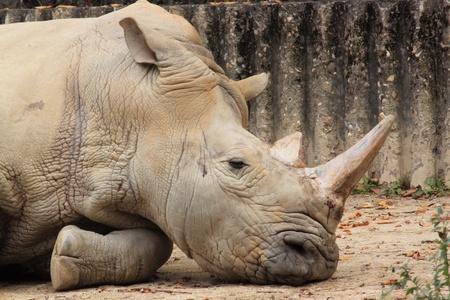A sad rhinoceros