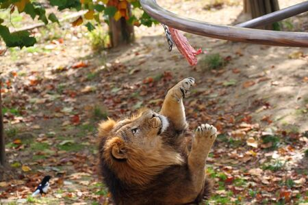 A lion catching a piece of meat