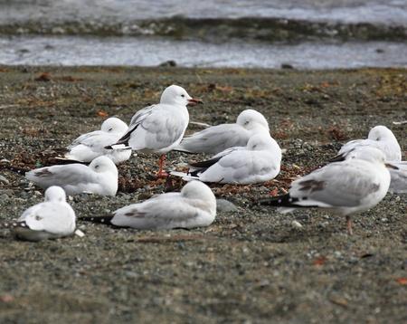 A group of white birds by the sea shore Фото со стока - 12756996
