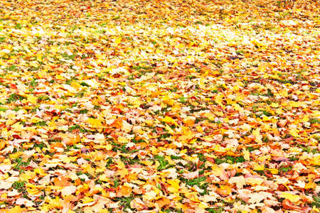 yellow fallen leaves on the green grass photo