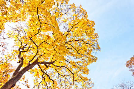 autumn tree with yellow leaves against the blue sky photo
