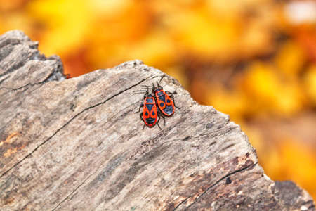 Two soldier beetles on the gray tree Stock Photo