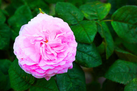 Bush pink roses with green leaves photo