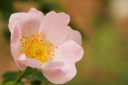 Blooming wild rose in the garden