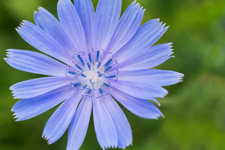 chicory flower: Chicory flower on the abstract green background Stock Photo
