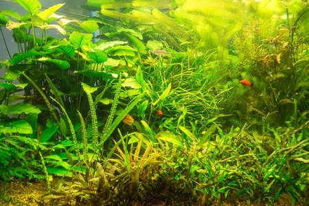 anubias: Verde hermoso acuario reshwater plantado con peces Foto de archivo