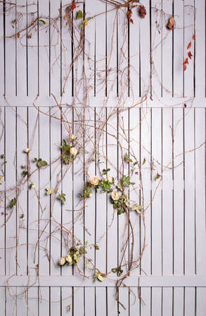 twined: White wooden fence twined with roses in studio
