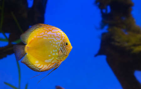anubias: Yellow fish on a blue background in the aquarium