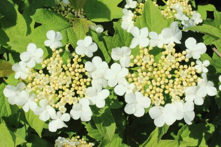 guelderrose: Two inflorescences of a blossoming guelder-rose in the late spring Stock Photo