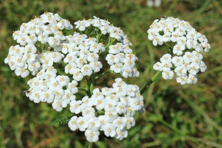 Yarrow during flowering in a summer sunny day Stock Photo - 14723231