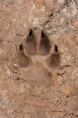 nature backgrounds: Dogs single paw print on the sand. Nature Backgrounds.