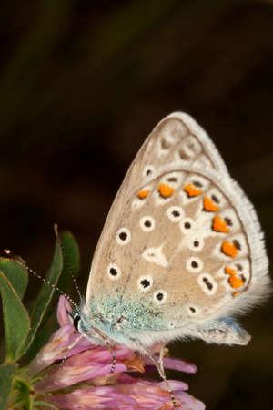 polyommatus icarus: Common Blue Polyommatus icarus. Photo was taken in Ukraine