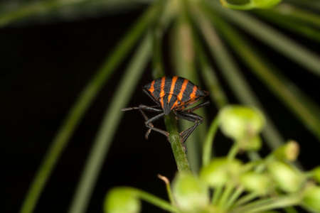 lineatum: Copulating Italian Striped Bugs or Minstrel Bugs Stock Photo