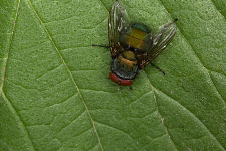 wet flies: Closeup of a green fly on a green leaf