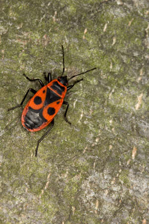 firebug: Closeup of firebug Pyrrhocoris Apterus. Macro. Located on sand. Can be used as a whole background. Stock Photo