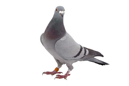 Grey sport pigeon isolated on white background