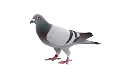 close up of speed racing pigeon bird isolate white background Imagens - 94708633