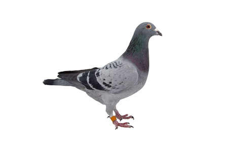 close up of speed racing pigeon bird isolate white background