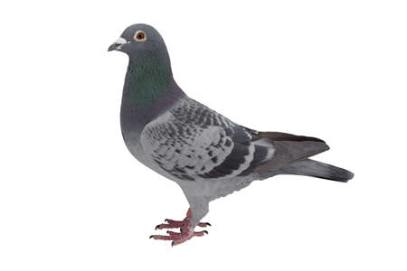 close up of speed racing pigeon bird isolate white background Imagens - 99794354
