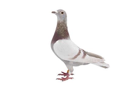 Nahaufnahme von Speed Racing Taubenvogel isolieren weißen Hintergrund Standard-Bild