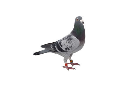 close up of speed racing pigeon bird isolate white background Imagens - 100036329