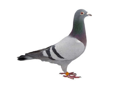 Nahaufnahme von Speed Racing Taubenvogel isolieren weißen Hintergrund