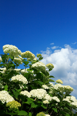Blooming white Annabelle hydrangea and blue sky with clouds. Selective focus.
