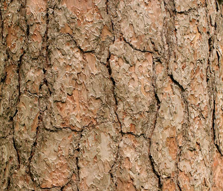 Bark of a coniferous tree