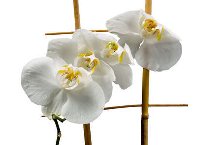 Graceful  orchid on a wooden lattice isolated on a white background photo