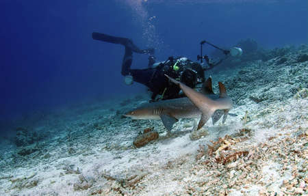 sand shark: Diver and shark at ocean. Diving.