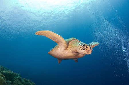 Turtle on the sea. Diving on Sipadan Stock Photo - 2806350