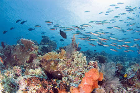 fishes at a coral reef. Sipadan. Indonesia photo