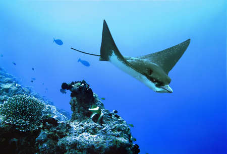 spotted ray: Eagle ray. Diving on Maldives. Stock Photo
