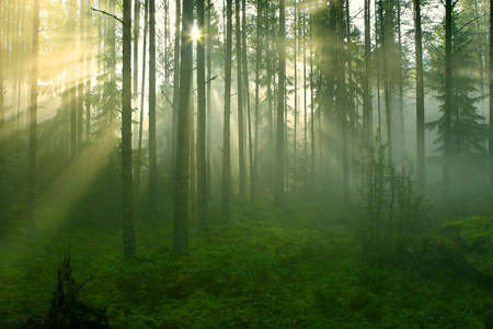 Sun rays crossing a misty forest photographed in an early summer morning. Stock Photo