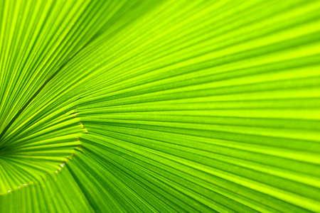Leaf of a palm tree. A background photo