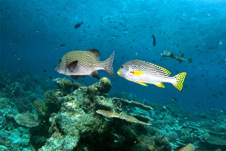 blackspotted: The fishes (Blackspotted sweetlips). Diving on Sipadan.