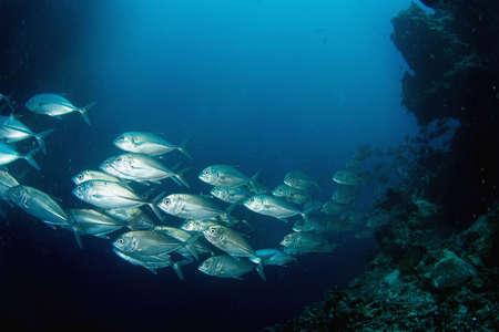 fish school: School of tuna. Diving. Sipadan
