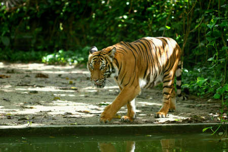 Tiger walking along water Stock Photo - 4334349