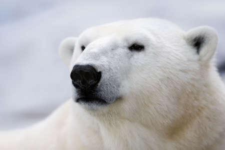 Portrait of a Polar Bear.