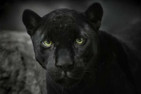jaguar: Portrait of the Black jaguar. Look of predator Stock Photo