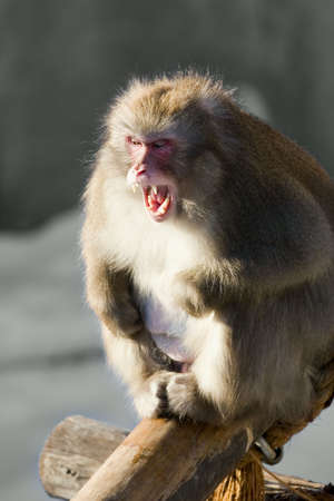 dinky: Laughing monkey