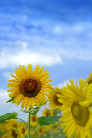 Sunflower in a field of sunflowers Stock Photo - 5003869