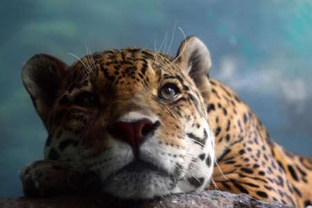 spotty: Dreams of freedom. Spotty jaguar at zoo Stock Photo