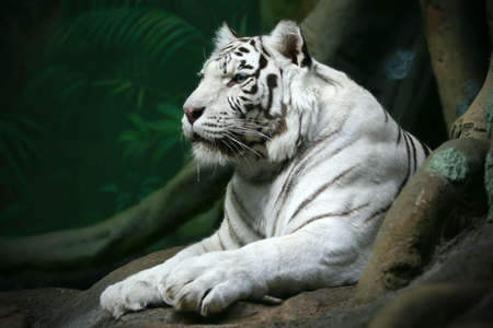 cruel zoo: The white bengal tiger looking afar on a dark green background. Stock Photo
