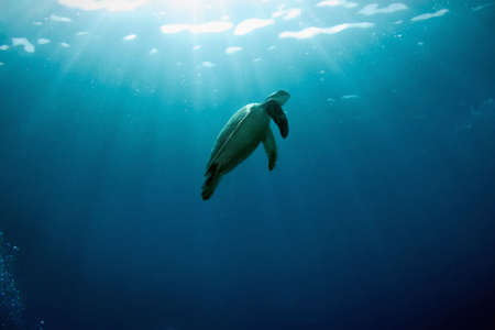 Green turtle swimming  in blue water and solar beams. Diving on Sipadan