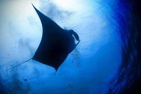 Manta Ray (Manta birostris) in blue water